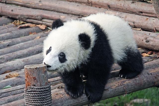 Visit baby pandas in China